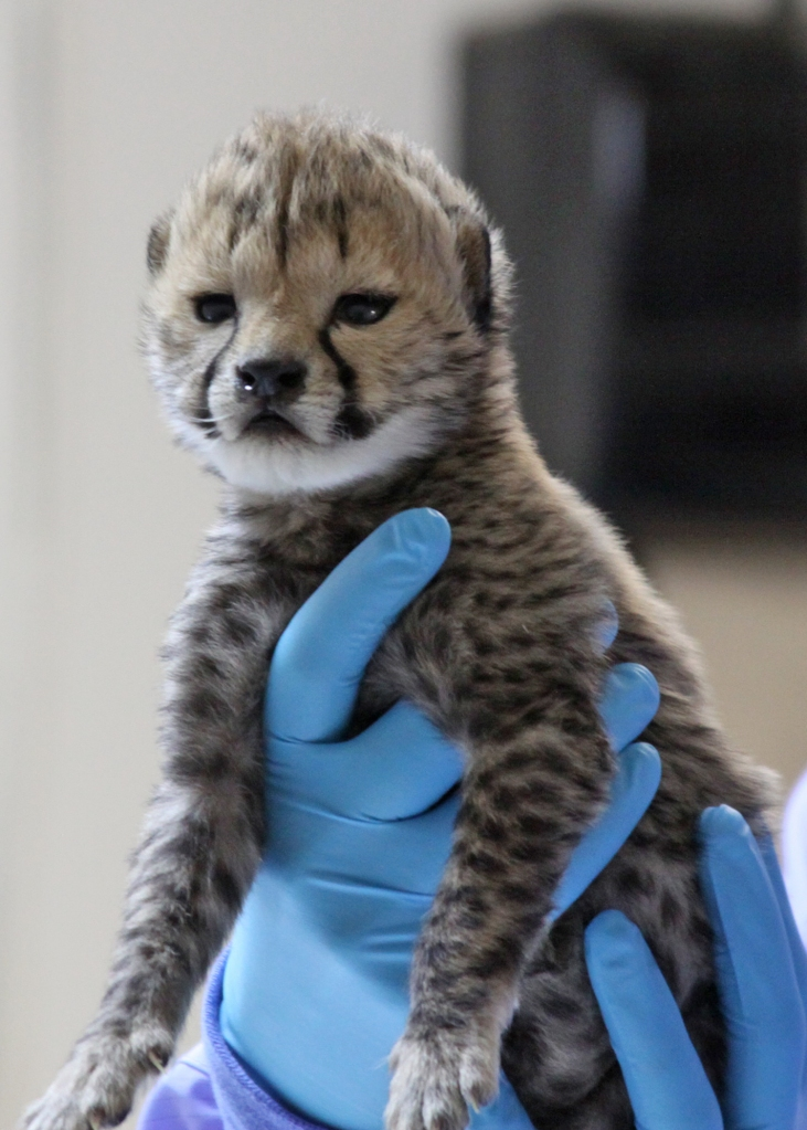 One of the cheetah cubs born at Wildlife Safari