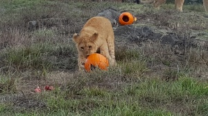 Brave adventurer: the first lion cub to investigate the pumpkins Photo courtesy of Taylor Sherrow