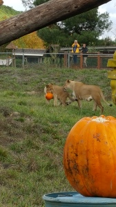Safety in Numbers: the lions checking out their pumpkin enrichment Photo courtesy of Taylor Sherrow