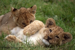 Two of our 6 lion cubs - Arnold and Sharptooth