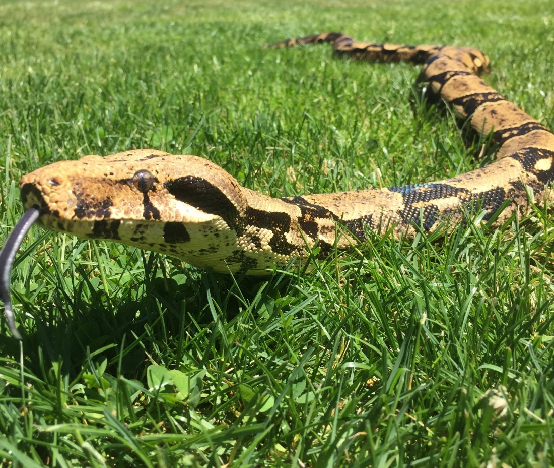 Madrone, the red-tail boa