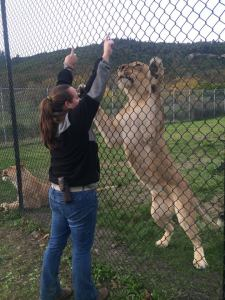 Mtai, our female lion being trained by one of our carnivore keepers Photo courtesy of Melissa Fox