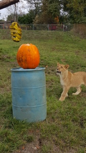 Lion cubs with their Halloween enrichment Photo courtesy of Taylor Sherrow