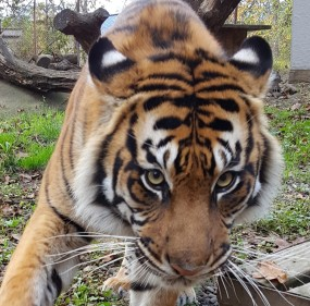 Our Sumatran tiger, Riya, with her pumpkin. Photo courtesy of Taylor Sherrow