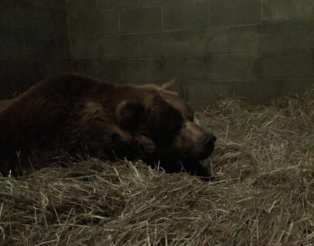 Sleepy Grizzly