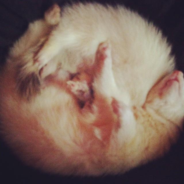 Coco and Swiper, domestic ferrets, snuggle as they nap