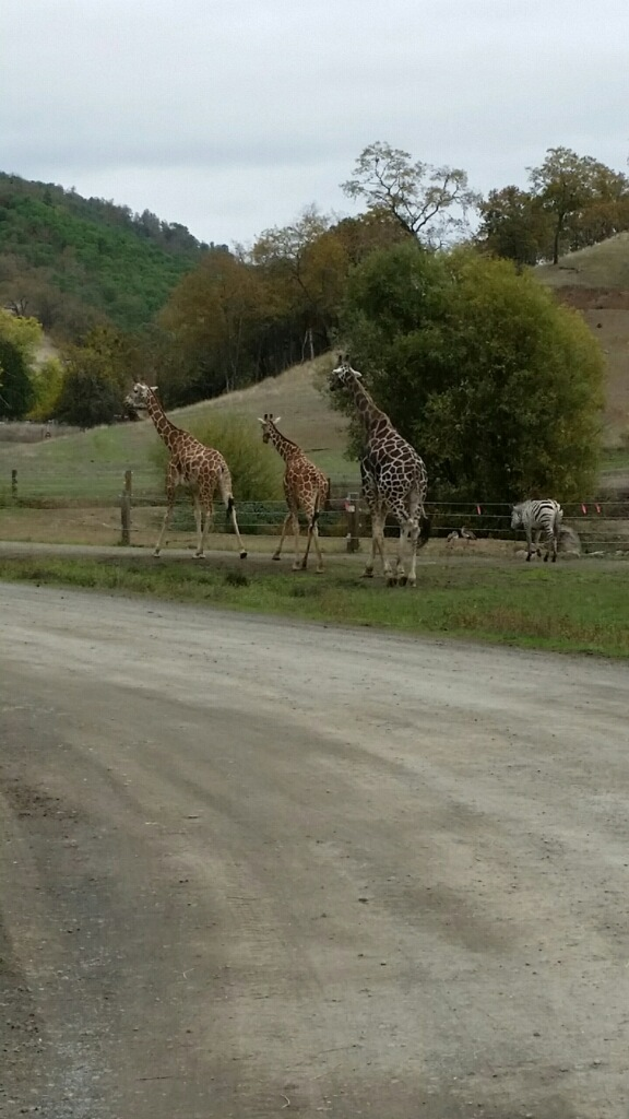 Giraffes with their Zebra friend - photo courtesy of Erica Sherrow