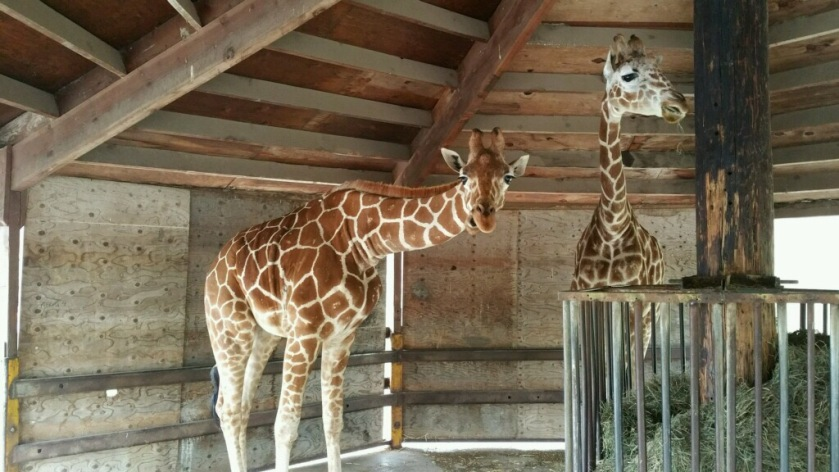 Giraffes in their feeder - photo courtesy of Erica Sherrow