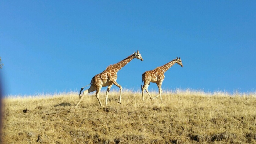 Giraffes going for a stroll - photo courtesy of Erica Sherrow