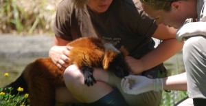 Veterinarian Kirsten Thomas with one of our red ruffed lemurs