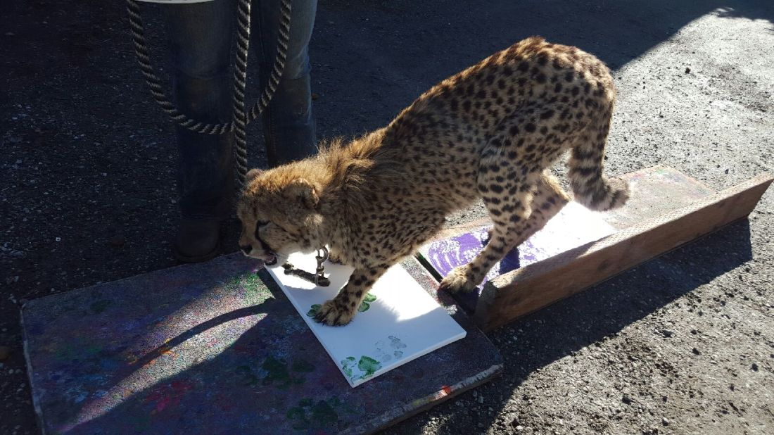 Pancake, our youngest ambassador cheetah, showing off her painting skills - photo courtesy of Sadie Ryan