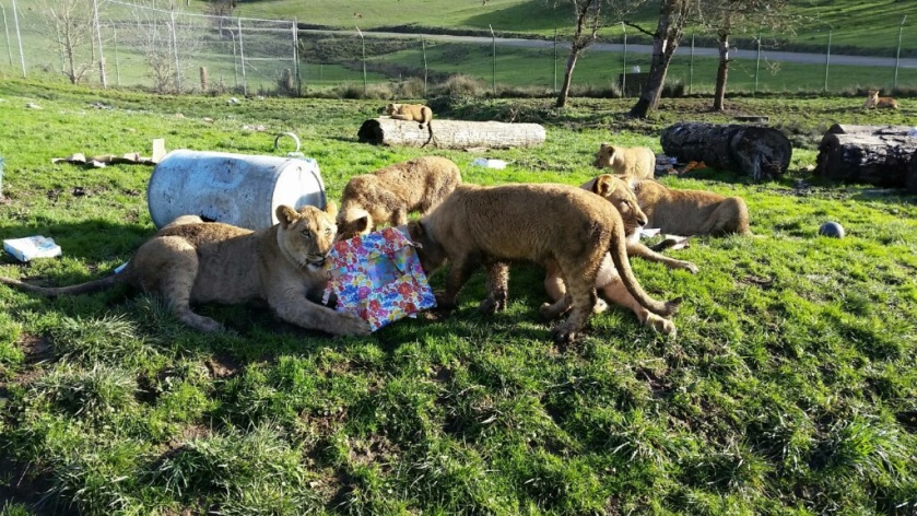 Lions enjoying the birthday celebrations - photo courtesy of Jordan Bednarz