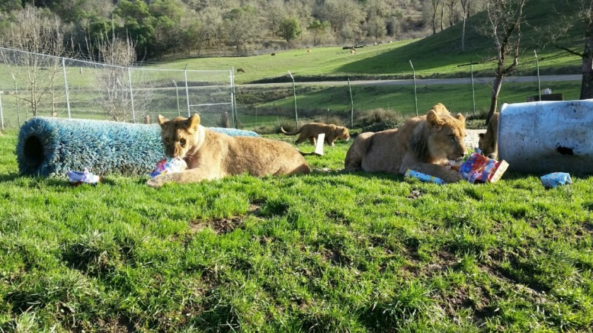 In true lion style, each one claimed their own present - photo courtesy of Jordan Bednarz
