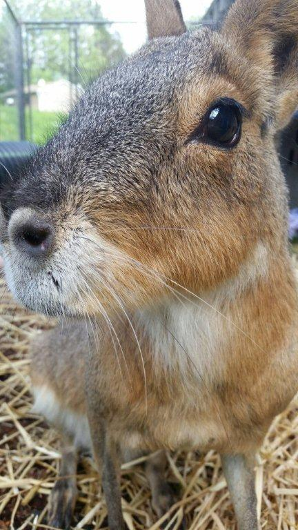 Paddy the Patagonian Cavy
