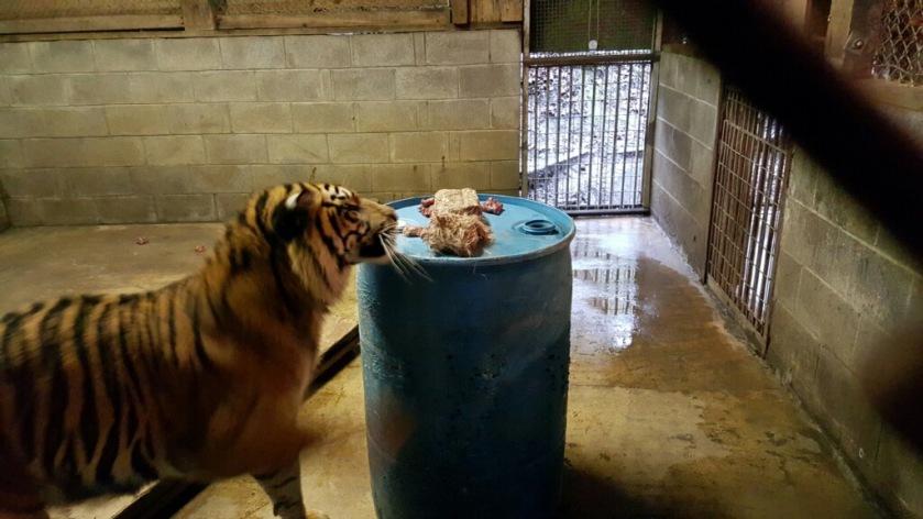 Sumatran tiger, Riya, investigates her dinner on her favorite barrel - photo courtesy of Taylor Sherrow