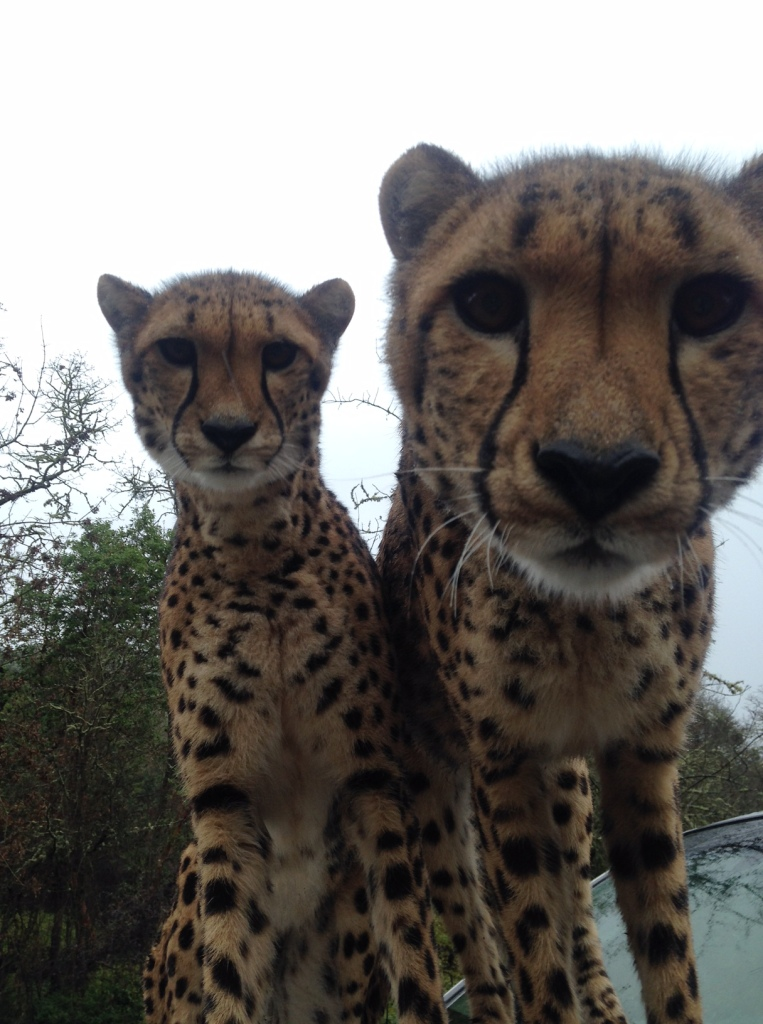 Khayam and Mchumba, Wildlife Safari's four-year-old cheetah ambassadors