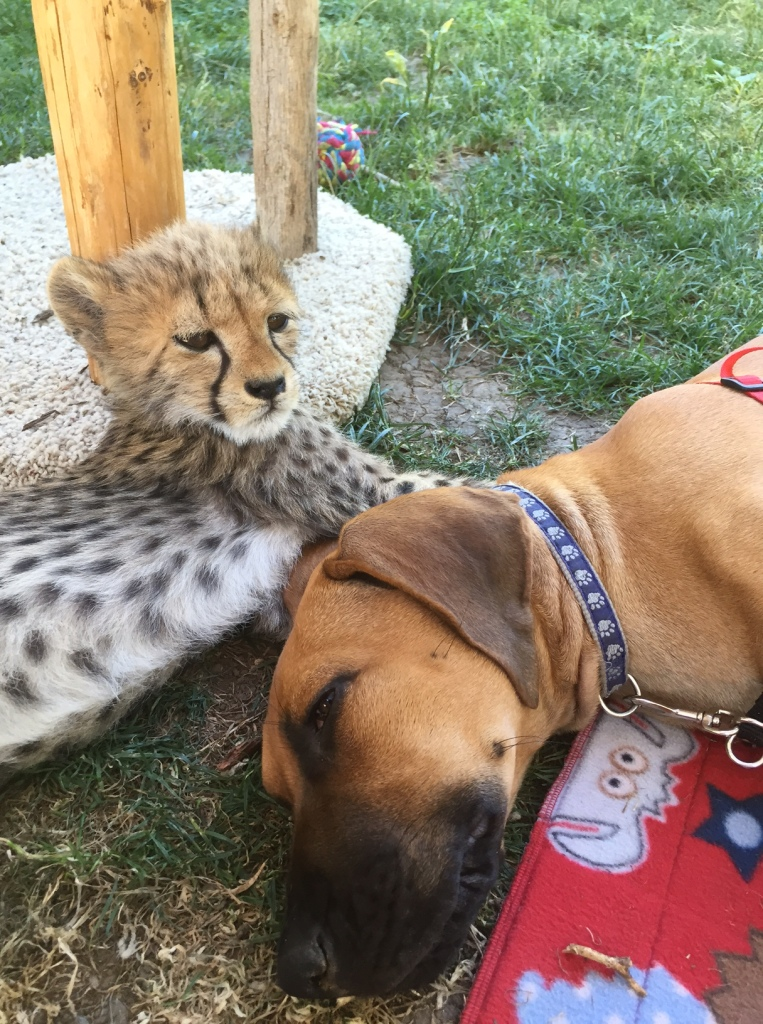 Pancake and Dayo, our cheetah-puppy ambassador pair when they were much smaller