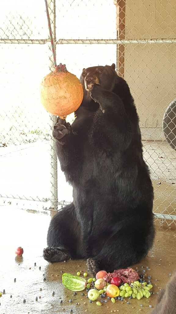 One of the black bears surrounded by snacks and enrichment