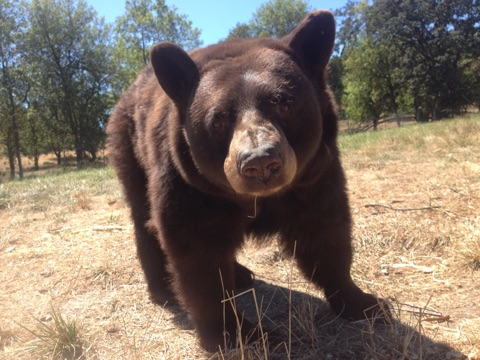 Takoda the black bear saying hello to his keepers