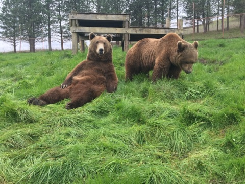 Grizzly brothers, Mak and Oso, enjoying the spring sunshine - photo courtesy of Taylor Sherrow