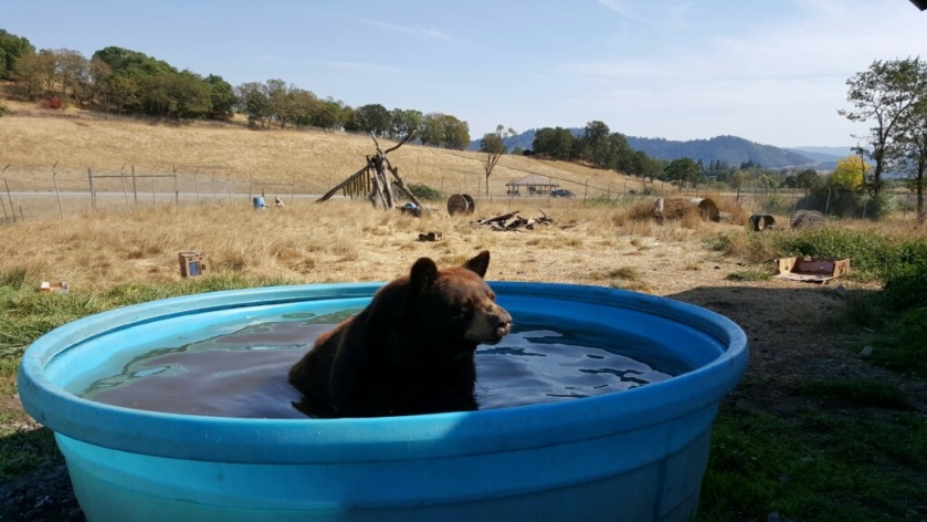 The black bears love their ponds
