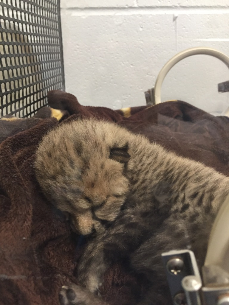 Being a cheetah cub sure is exhausting