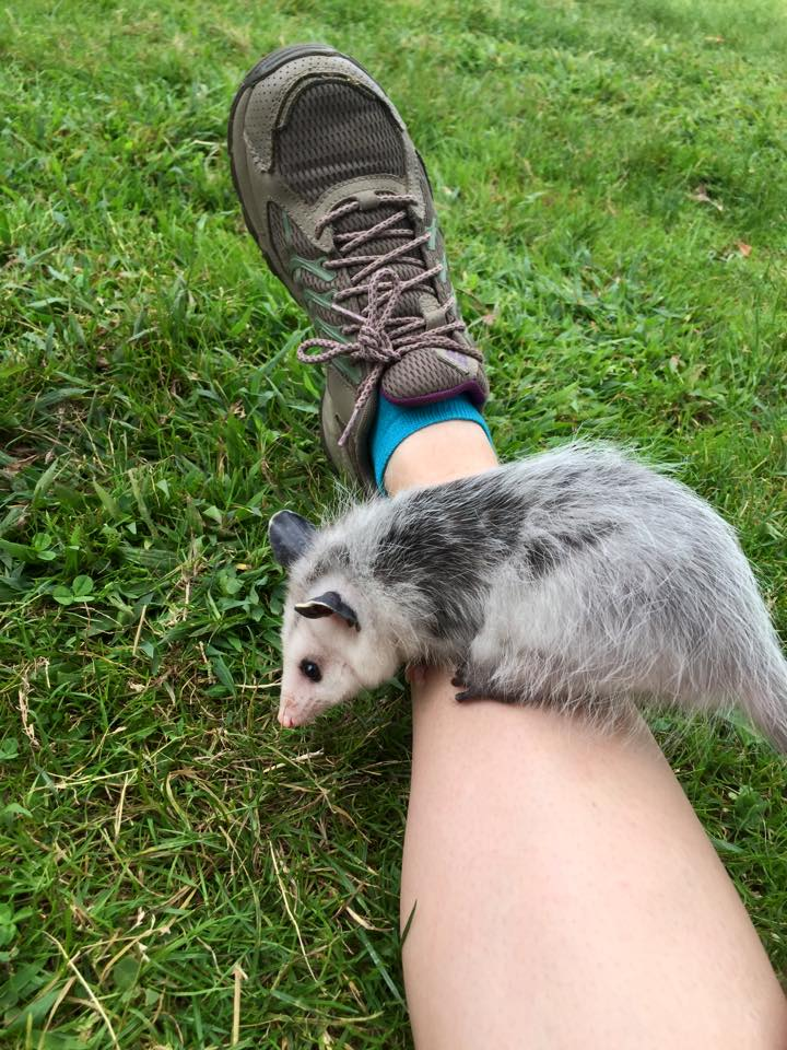 Violet the Opossum considers grass for the first time