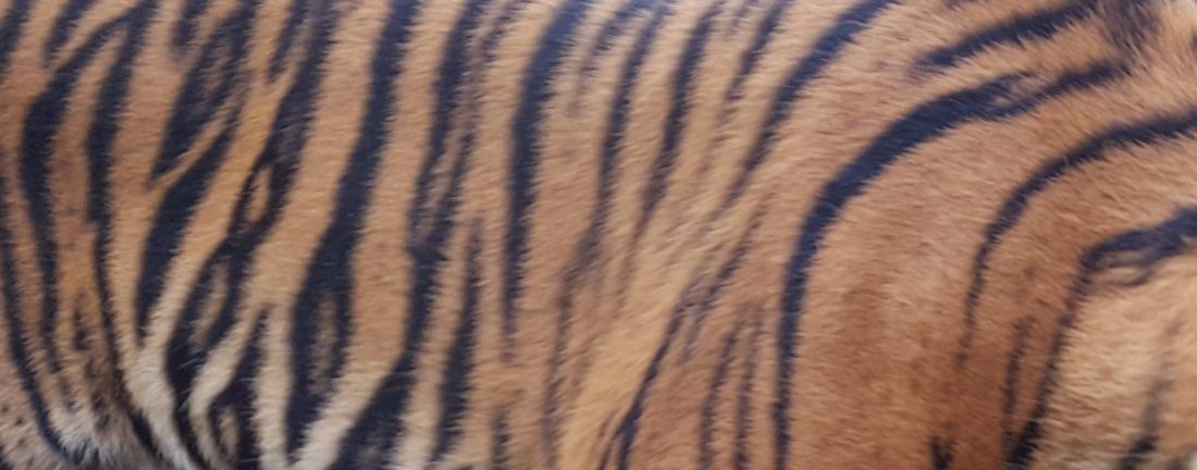 Sumatran Tiger Stripes