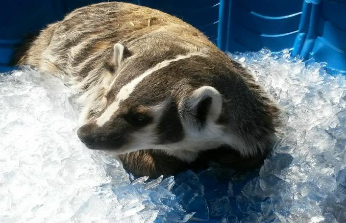 Bandit enjoying an ice bath on a hot summers day