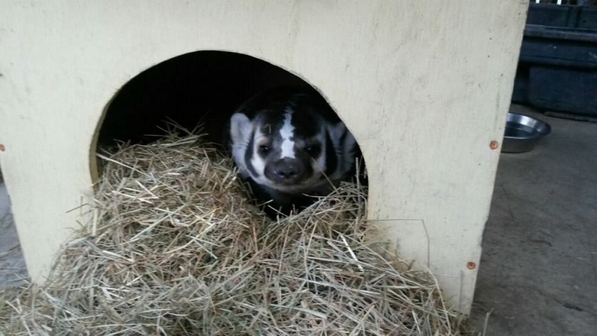 Bandit in his den box