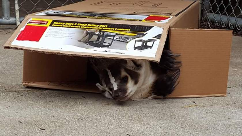Bandit enjoying a cardboard box