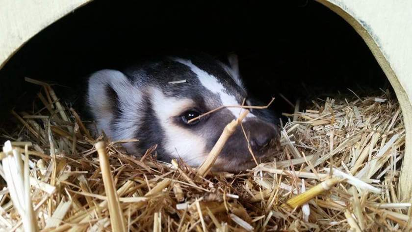 Bandit the American Badger