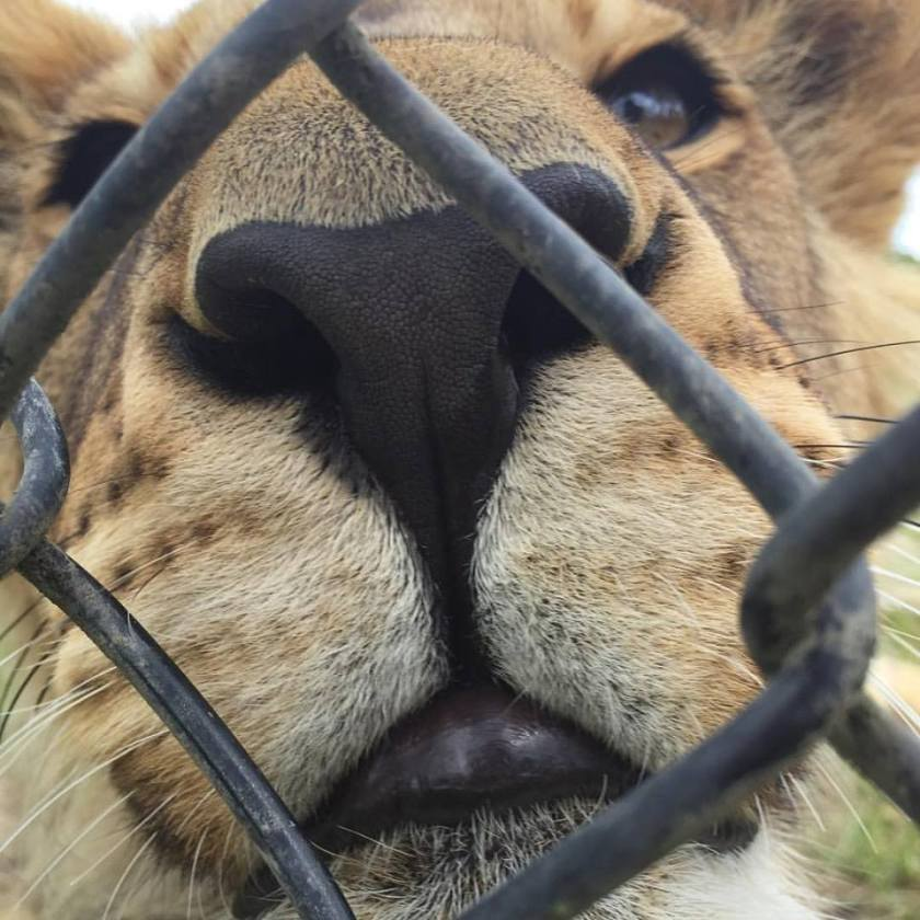 One of our 6 lion cubs waiting not so patiently for training to begin
