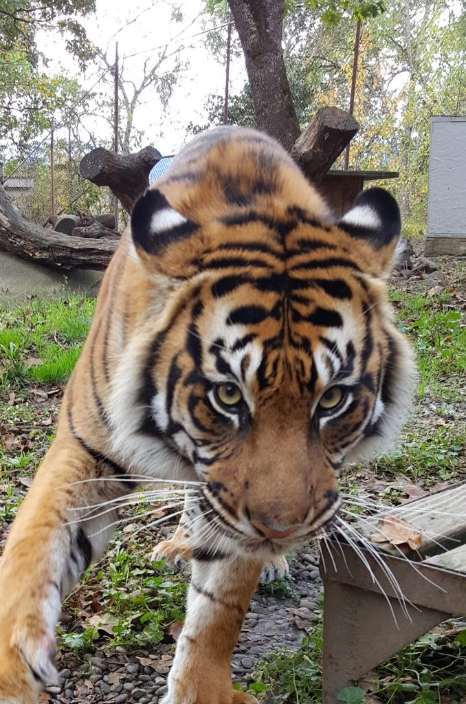 Riya the Sumatran tiger