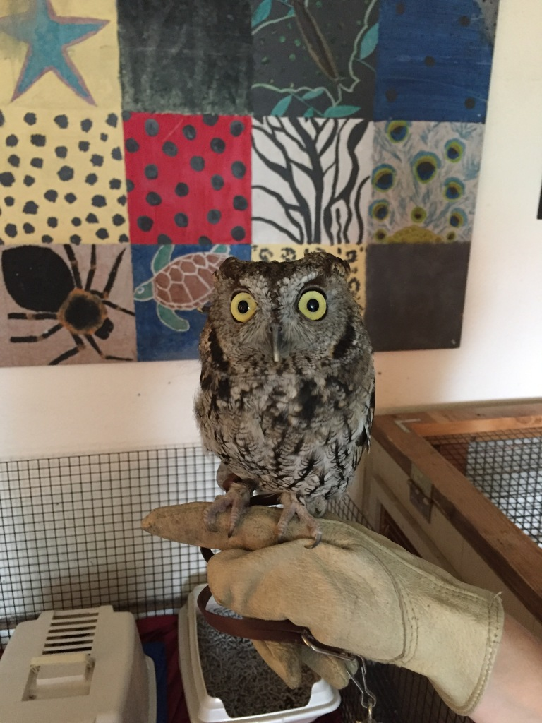 Kotori the Western Screech Owl