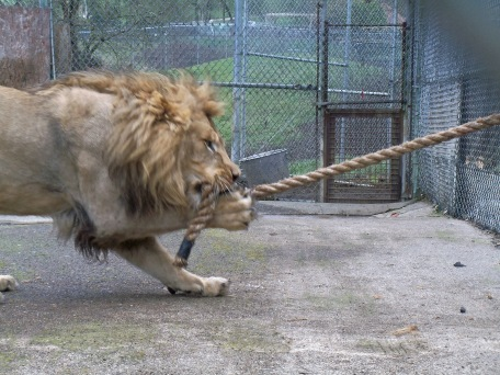 One of our male lions playing tug-o-war