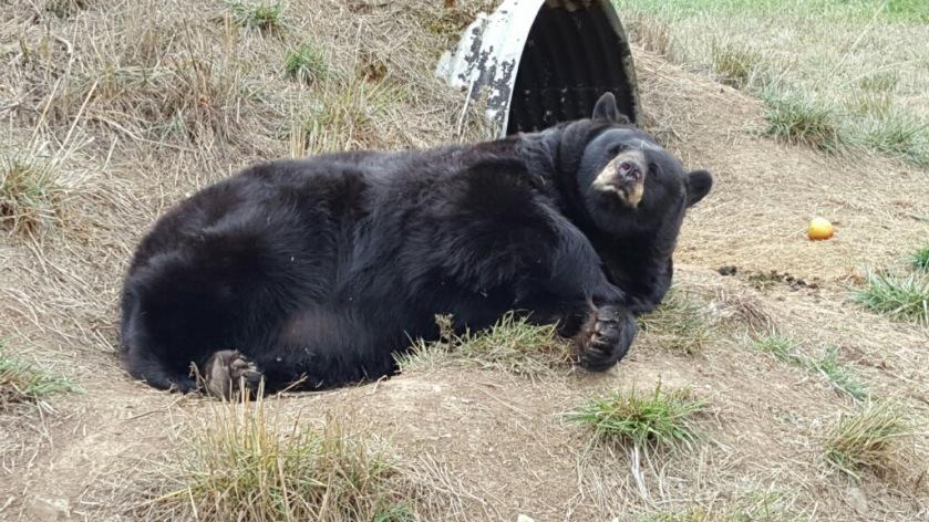 bear-7