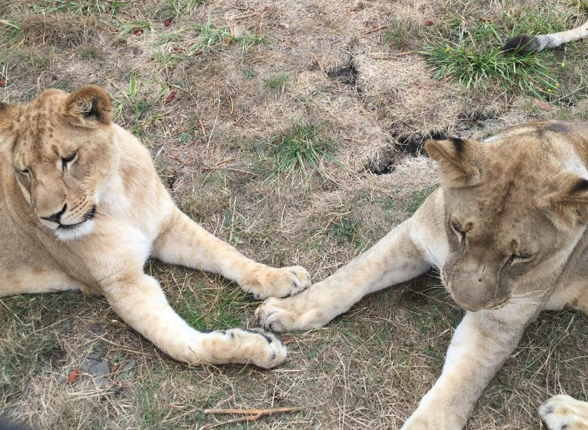 lions-2