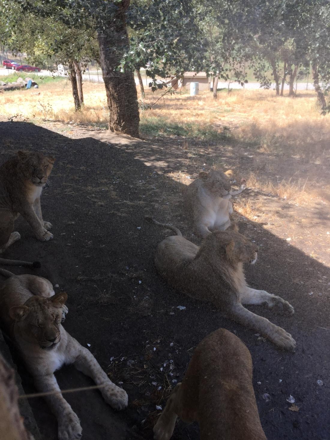 lions-in-sprinklers