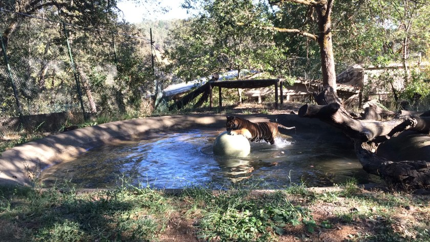 tigers-in-pond-3