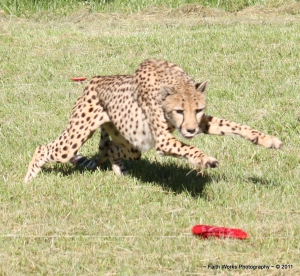 Cheetah chasing the bait on a lure