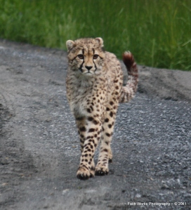 A young cheetah at Wildlife Safari