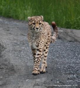A young cheetah at Wildlife Safari