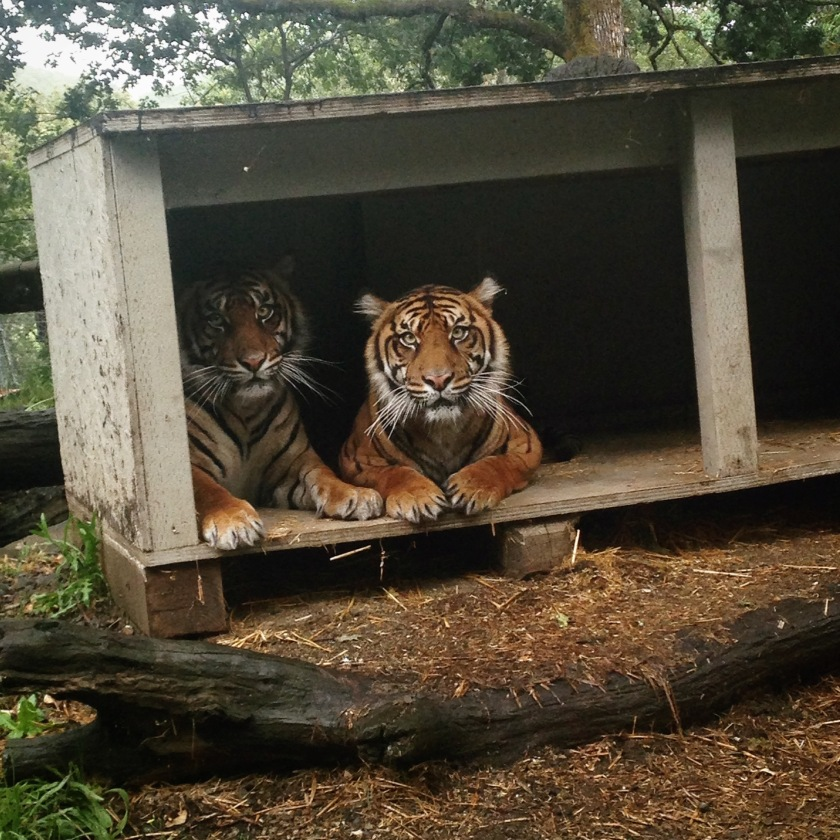 Sumatran Tiger sisters, Riya and Kemala