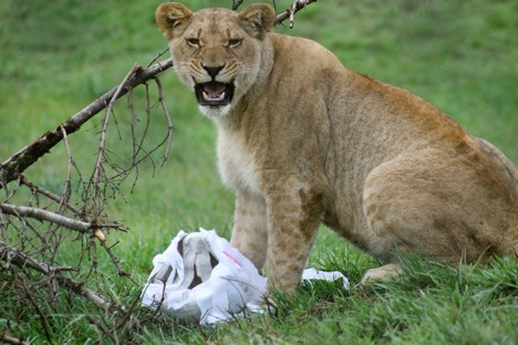 One of our lions playing with a paper-mache ghost around Halloween. Photo courtesy of Caroline Harris.