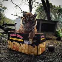 Even tigers like to sit in boxes. Photo courtesy of Mikaely Riley.