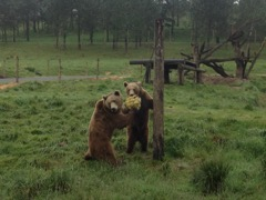 Brown Bears playing with a firehose ball. Photo courtesy of Melissa Fox.