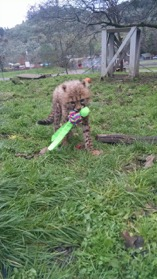 One of our young cheetahs running off with a new toy. Photo courtesy of Katie Low.
