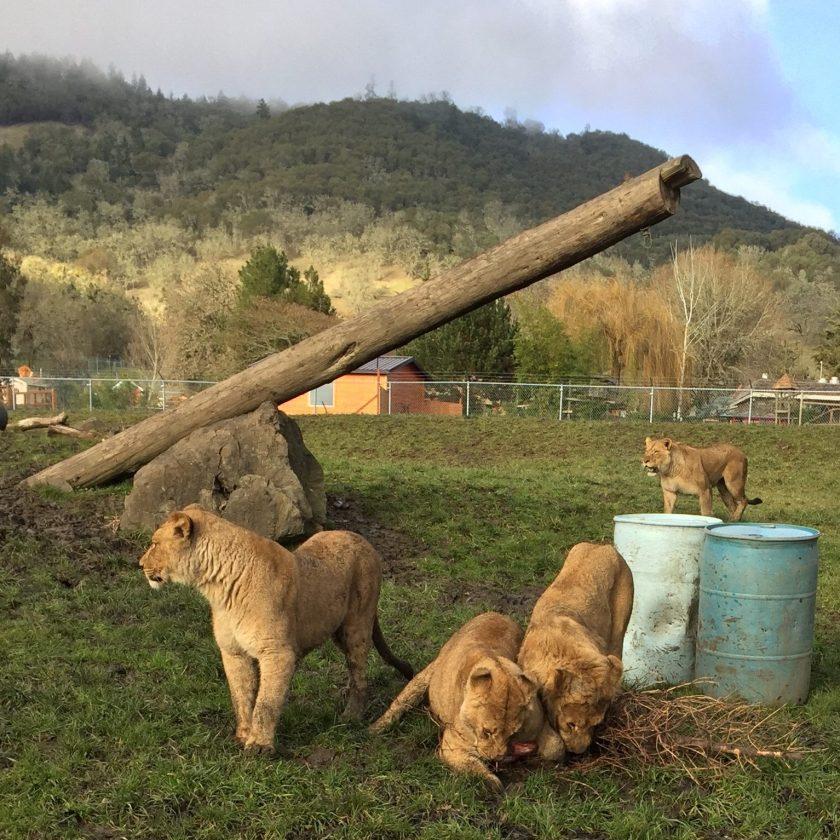 Wildlife Safari's Lion pride playing outside - photo courtesy of Cori