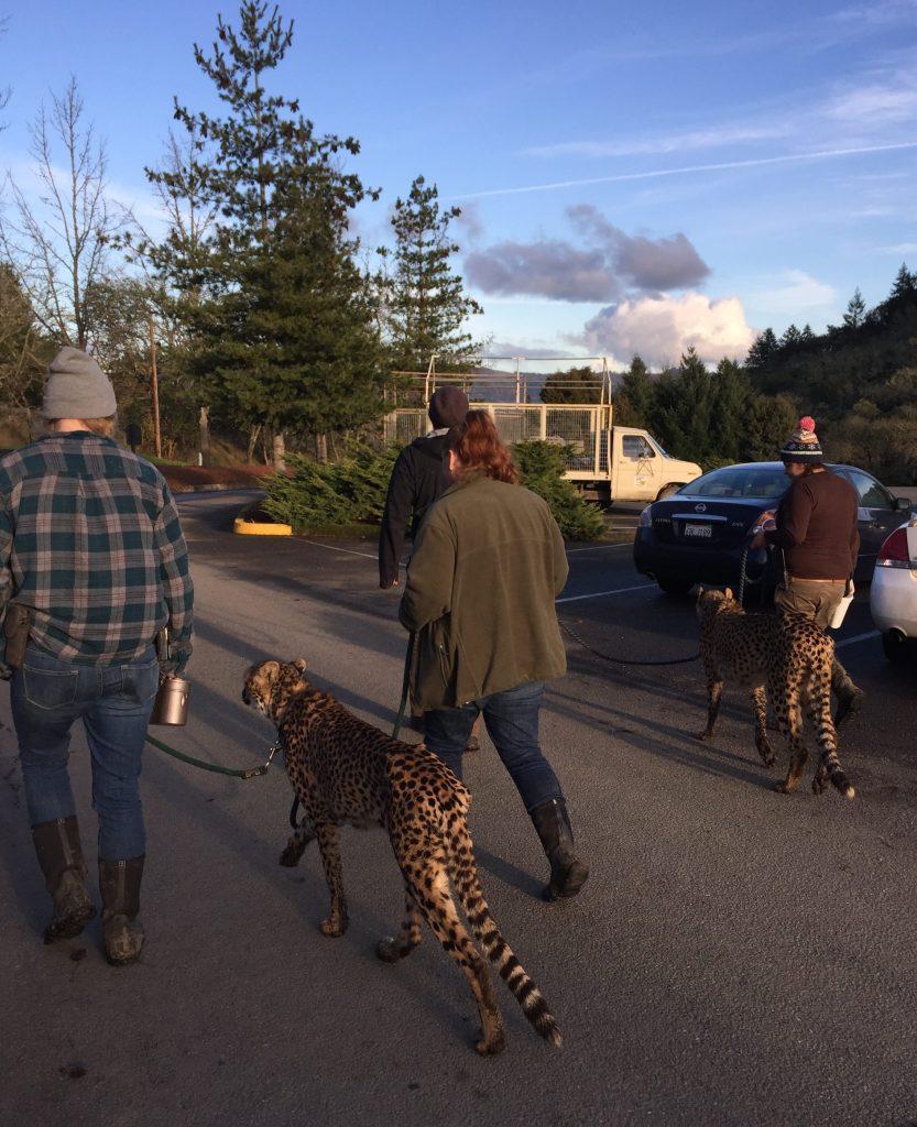 One of Wildlife Safaris ambassador cheetahs out on a walk - photo courtesy of Cori